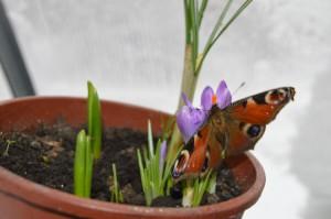бабочка-на-крокусах